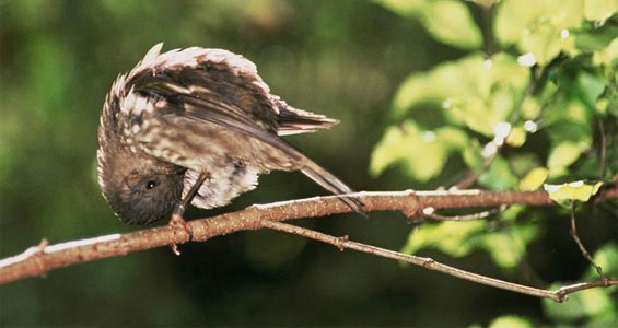 Female stitchbird.