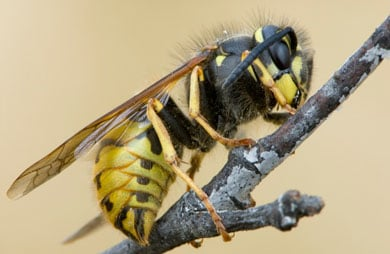 Common wasp.
