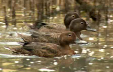 Click this image from the Brown teal/pateke clip to view the video. Image copyright: TVNZ.