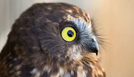 Morepork/ruru. Photo © Sabine Bernert.