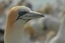 Click this image from the Gannet research clip to view the video. Image copyright: TVNZ.