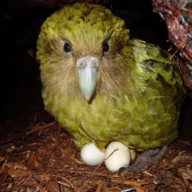 A female kākāpō sitting on her eggs at her nest.