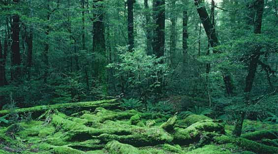 Beech forest, Eglinton Valley, Fiordland National Park.