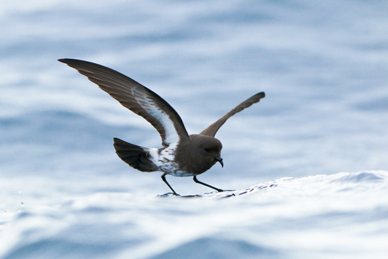 New Zealand Storm Petrel. Photo: Neil Fitzgerald.