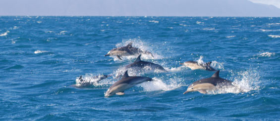 Common dolphin pod in the Cook Strait Area. Photo: Nadine Gibbs.