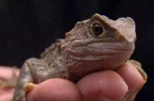 Click this image from the Tuatara release clip to view the video. Image copyright: TVNZ.
