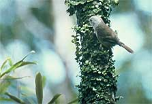 Male whitehead on tree branch. Photo: J.L. Craig.