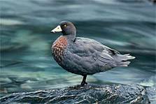 Rare blue duck/whio. Photo: A Reith.