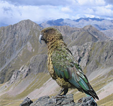 Kea. Photo: T Ensom.