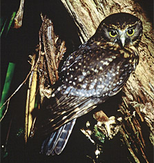 Morepork/ruru koukou. Photo: D Veitch.