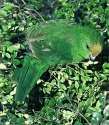 Orange-fronted parakeet/kākāriki karaka. Photo: D Crouchley.