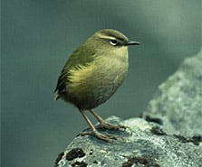 Rock wren/pīwauwau. Photo: R Morris.
