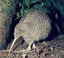 Great spotted kiwi/roroa. Photo: R Morris.