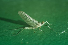 Adult mayfly. Photo: D Veitch.