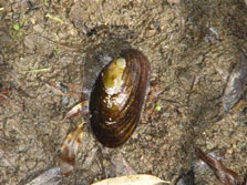 Freshwater mussel. Photo: S Charteris.