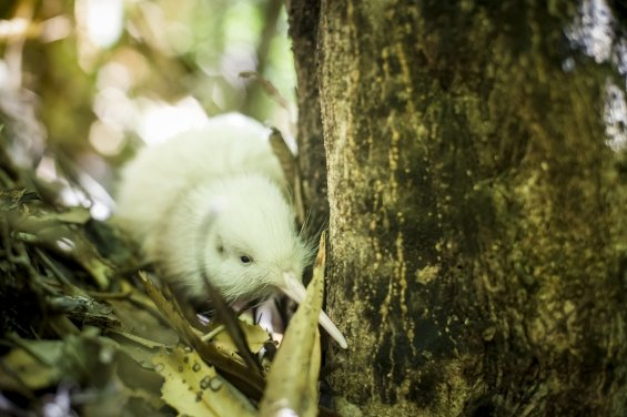 White kiwi chick at Pukaha Mount Bruce.