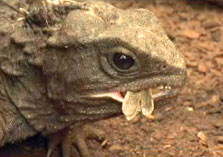 Click this image from the Tuatara clip to view the video. Image copyright: TVNZ.