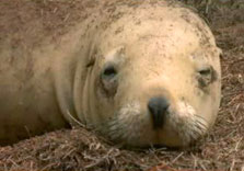Click this image from the Sea Lions clip to view the video. Image copyright: TVNZ.