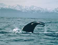 Sperm whale tail with Kaikoura Mountains, Kaikoura. Photo: Ingrid Visser.