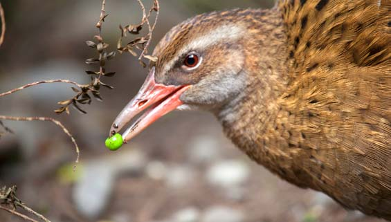Buff weka at Willowbank. Photo: Sabine Bernert.