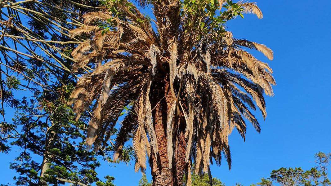 Kawau Island Phoenix Palms deliberately poisoned