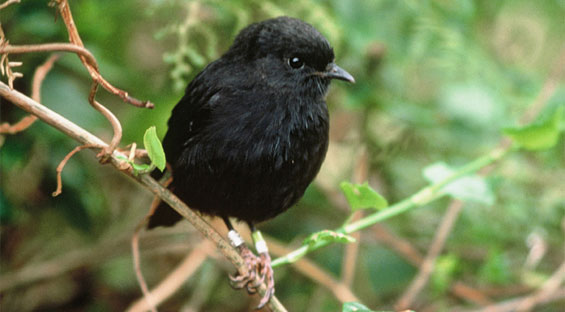 Chatham Island black robin. Photo: Graeme A Taylor.