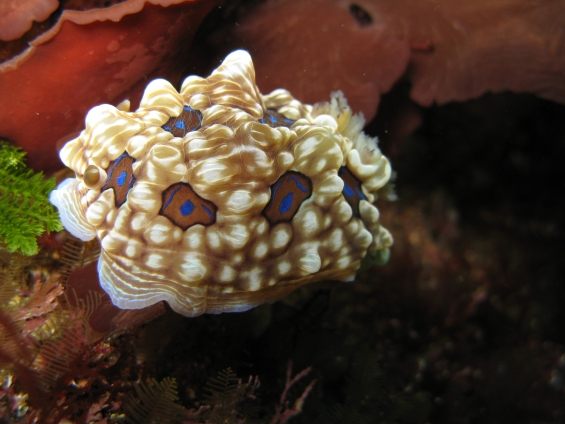 Gem nudibranch in the Poor Knights Islands Marine Reserve.