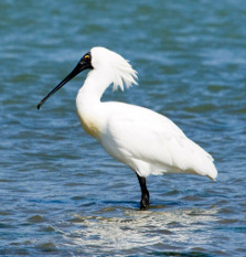 Royal spoonbill. Photo copyright: Rob Scotcher DOC USE ONLY.