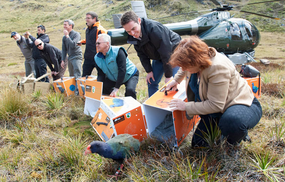 Minister Maggie Barry and Recovery Programme partners releasing takahē.
