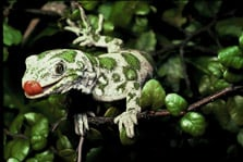 Nelson green gecko (Naultinus stellatus). Photo copyright: B W Thomas. (DOC USE ONLY).