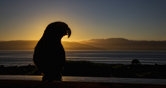 Kaka at sunset on Kapiti Island.