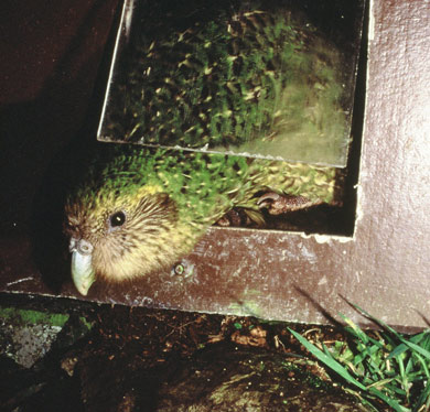 Kākāpō Hoki uses a door in her pen, 1996.