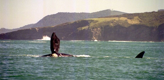 Southern right whale showing side fluke, Tautuku Peninsula. Photo: Erin Green.