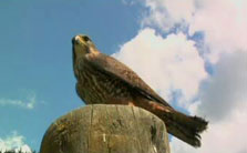 Click this image from the Falconry clip to view the video. Image copyright: TVNZ.