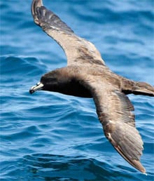 Westland black petrel in flight.