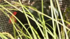 Click this image from the Takahē transfer clip to view the video. Image copyright: TVNZ.