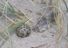 Dotterel nest at Opito with chick.