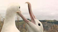 Click this image from the Albatross clip to view the video. Image copyright: TVNZ.