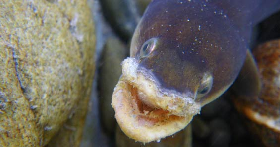 Longfin eel with fungal growth on lips.