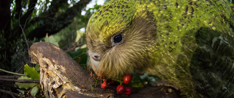 A kākāpō eats supplejack berries.