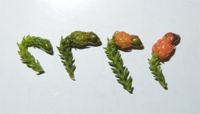 Four stages of rimu fruit maturation.
