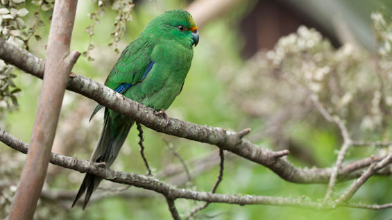 Orange-fronted parakeet. Photo © Sabine Bernert.
