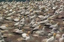 Click this image from the Gannets galore clip to view the video. Image copyright: TVNZ.