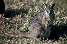 Dama wallaby.