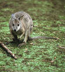 Pama wallaby.