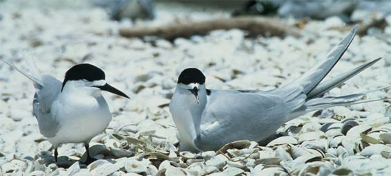 White-fronted tern pair, one on nest, Firth of Thames. Photo: Dick Veitch.