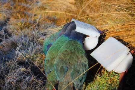 Takahē feeding from hopper.