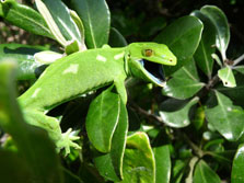 Wellington green gecko. Photo: Matt Barnett.