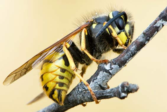 Common wasp. Photo: D Sikes (cc).
