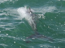 Hector's dolphin spotted in Wellington Harbour. Photo copyright: Dianne Proctor